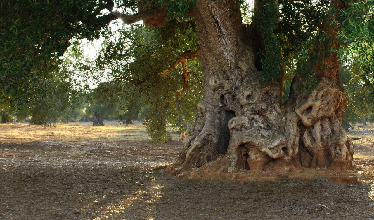 oliviers 1