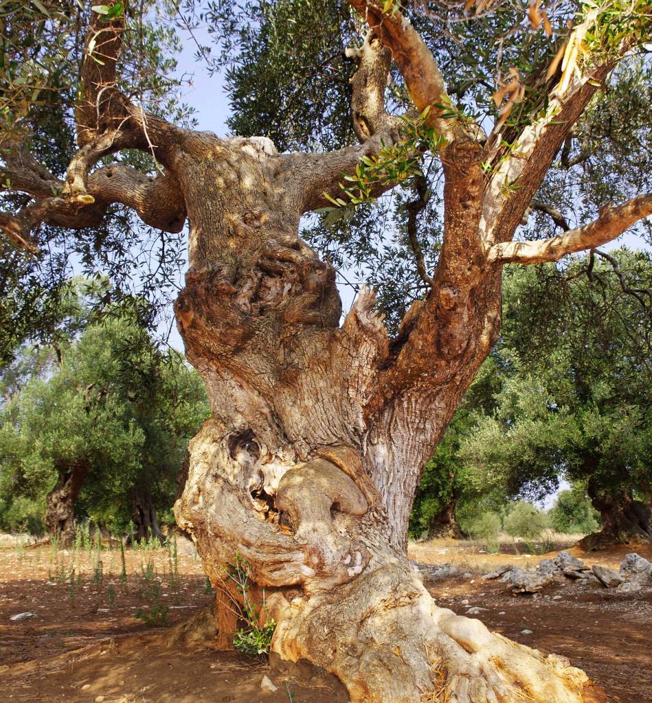 oliviers 10