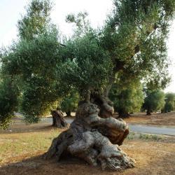 oliviers 2