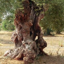 oliviers 3