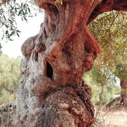 oliviers 7