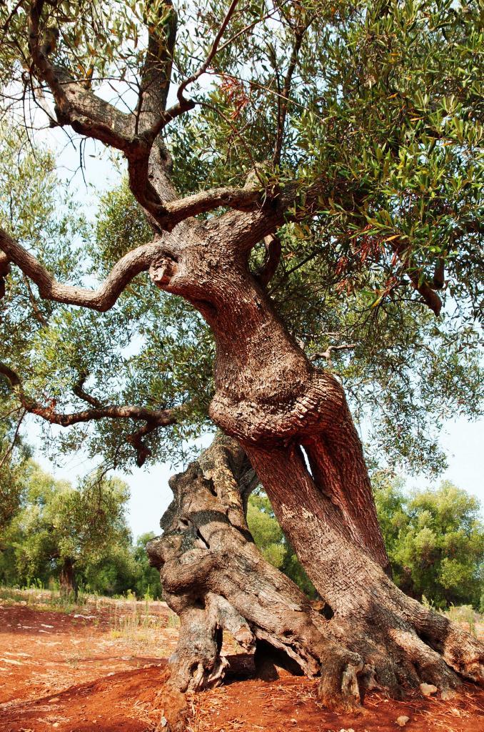 oliviers 8