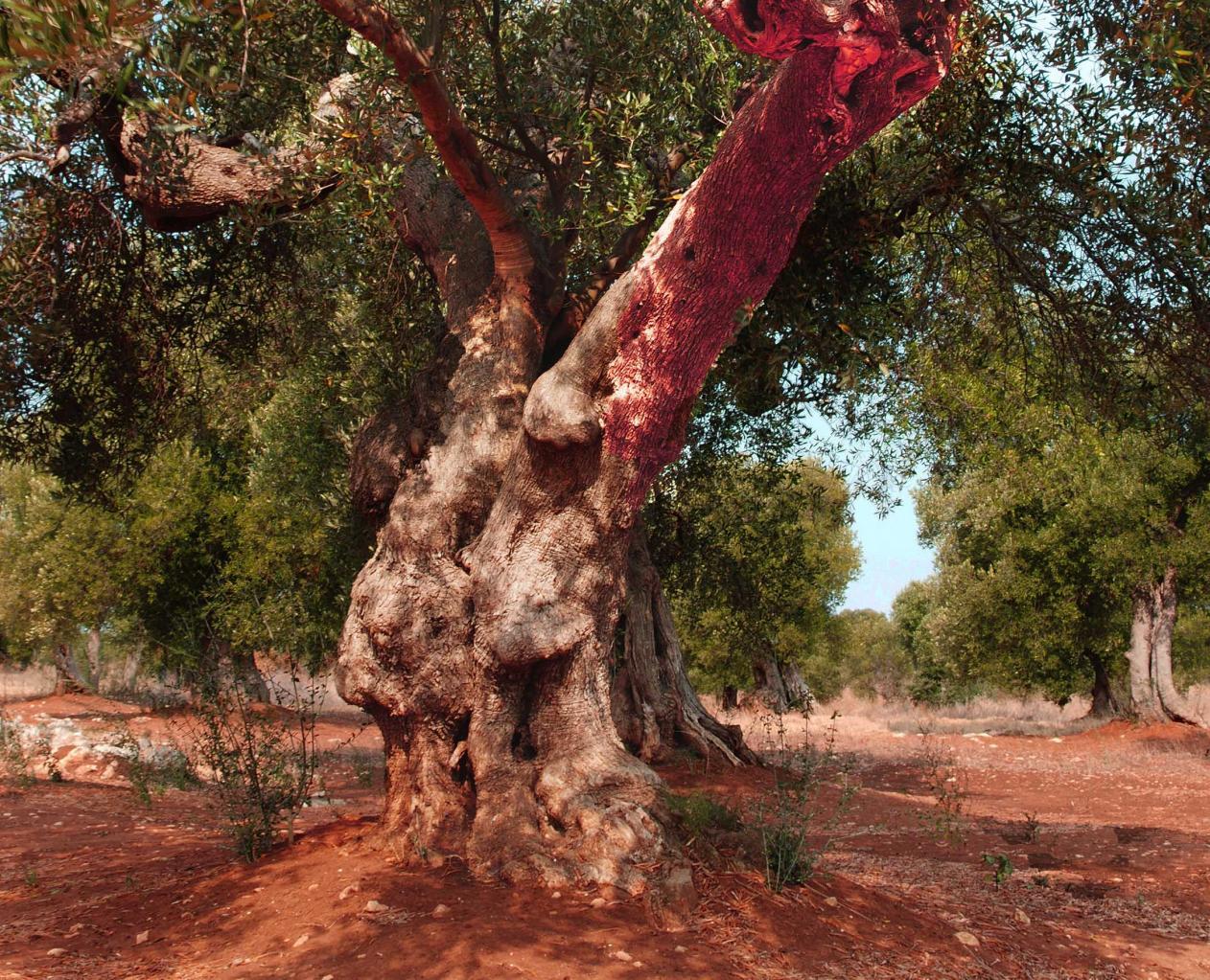 oliviers 9