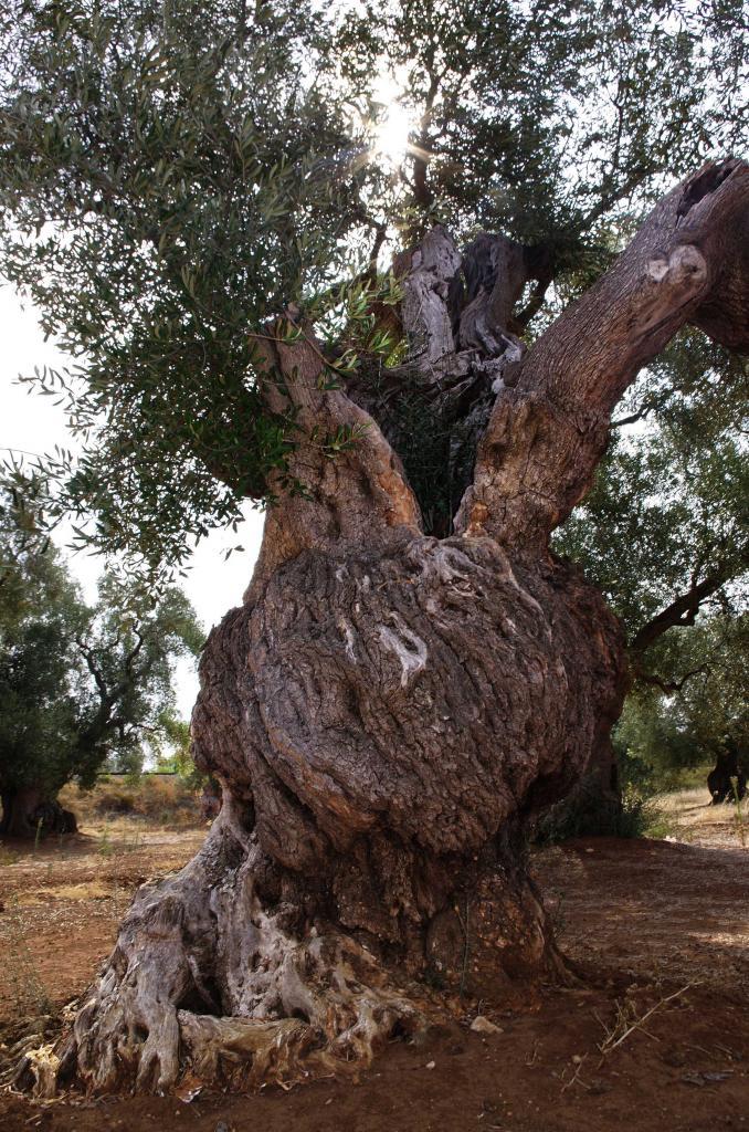 oliviers6
