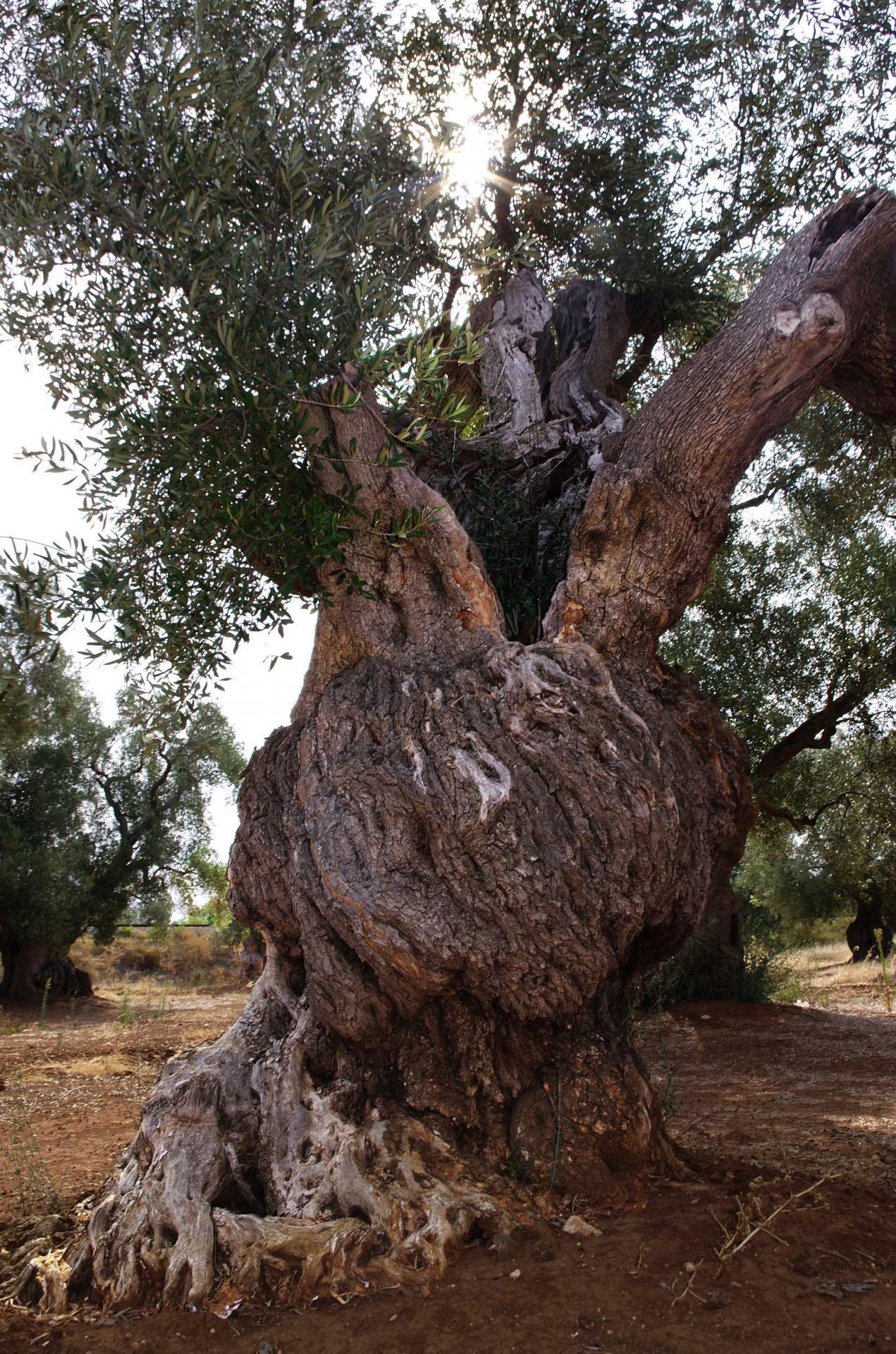 oliviers 6